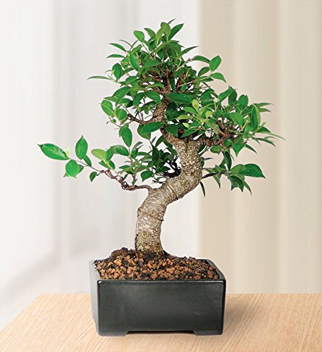 Bonsai Golden Gate Ficus Tree Foliage Plant 7 Years Tropical V3 by Iniloplant (Image #2)