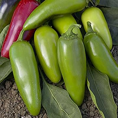 Jalapeno M Hot Pepper Garden Seeds - Non-GMO, Heirloom, Organic Vegetable Gardening Chili Seed