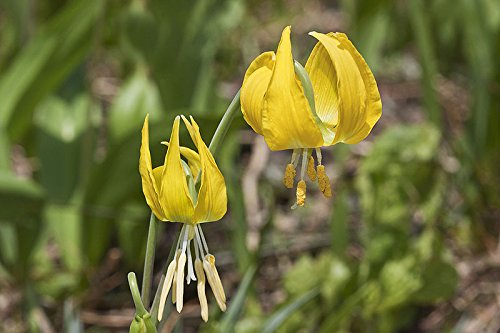 (10 YELLOW GLACIER LILY Erythronium Grandiflorum Avalanche Dogtooth Flower Seeds)