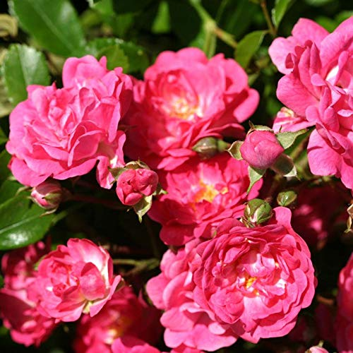 Polyantha Rose - Own-Root One Gallon Lovely Fairy Polyantha Rose by Heirloom Roses