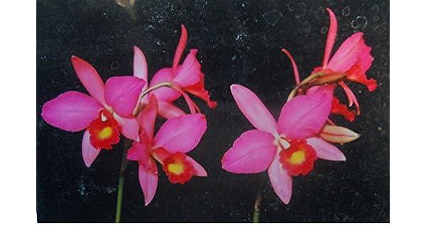 orchid plant Slc Coastal Sunrise /'Tropico/' HCC//AOS