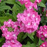 Outsidepride Verbena Rose - 1000 Seeds