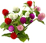 400 Mixed Color Gomphrena Flower Seeds