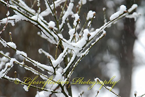 Snow On A Branch. Phothography, Wall Decor, Fine Art, Nature (Snow Branch)