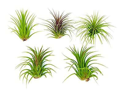 6 Lowlight Air Plant Pack - Live Low-Light Plants/Indoor Tropical Tillandsia Houseplant Kit -  Nature Wall Decor/Easy Decorative Centerpiece - Natural Low Light Decorations by Aquatic Arts