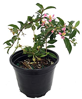 "Barbados Cherry Plant - Malpighia emarginata - Indoors/Out - 4"" pot"