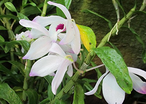 Dendrobium nobile alba from the Orchid family .