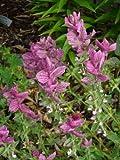 50 'Pink Sundae' Clary SAGE/SALVIA Viridis Herb Flower Seeds