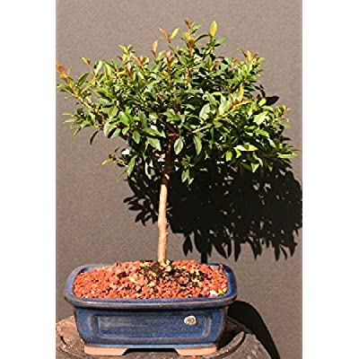 Brush Cherry Bonsai Tree 8yrs Old: Garden & Outdoor