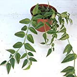 Hoya'Bella' Miniature Wax Plant, Rooted House Plant, 4""