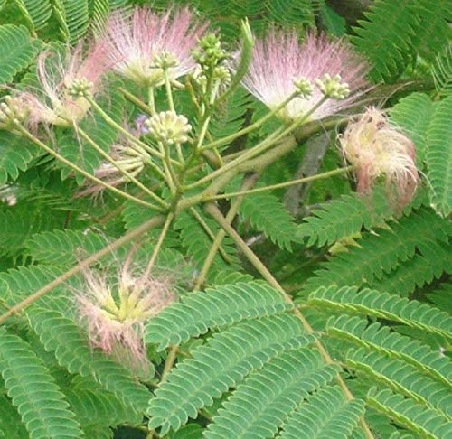Seidenbaum Albizia Julibrissin Rosea Schirmakazie 40-50 cm Pflanzcontainer