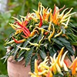 Medusa,Edible Ornamental Pepper -(Capsicum Annuum) 10 Seeds