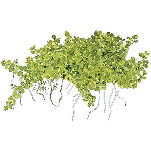 Tropica Hemianthus callitrichoides 'Cuba' Live Aquarium Plant - In Vitro Tissue Culture 1-2-Grow!