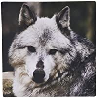3dRose LLC 8 x 8 x 0.25 Inches Gray Wolf Looking Straight at You Mouse Pad (mp_57071_1)
