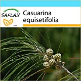 SAFLAX - Gift - Set - Horsetail Tree (Casuarina equisetifolia) - 200 Seeds - With gift box, greeting card, soil and shipping label