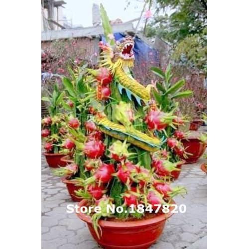 High Quality 20x Riesen Rote Drachenfrucht Samen Kaktus Zimmer