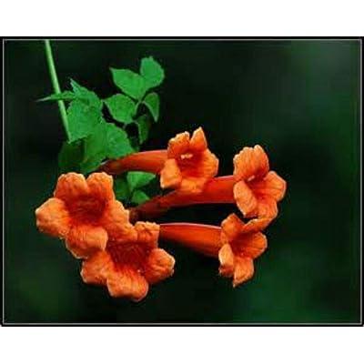 Beautiful Orange Hummingbird Trumpet Vine! 20 Seeds! Hummingbirds Love IT! : Garden & Outdoor