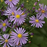 50 Smooth Blue Aster Seed Bombs - Bulk Seed Balls for Seed Bombing (Symphyotrichum laeve)