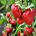 San Andreas Everbearing 25 Live Strawberry Plants, Non GMO,