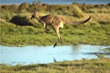 COOL KANGAROO GLOSSY POSTER PICTURE PHOTO flying jumping joey box australia