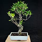Amazing Large Taiwanese Ficus Bonsai Tree - Tiger Bark # 2445