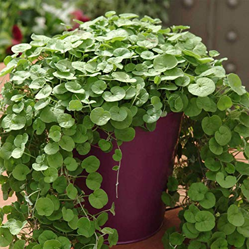 Dichondra Repens Ground Cover Plant Seeds 50+ Grass Plants Hanging Decorative Garden Plants Water Grass Seeds Easy Aquatic Live Plant