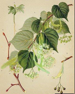 Little-leaf Linden. 100 seeds. trees, seeds