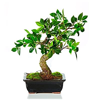 "CC Home Furnishings 12.25"" Decorative Green Artificial Bonsai Table Top Tree: Home & Kitchen"