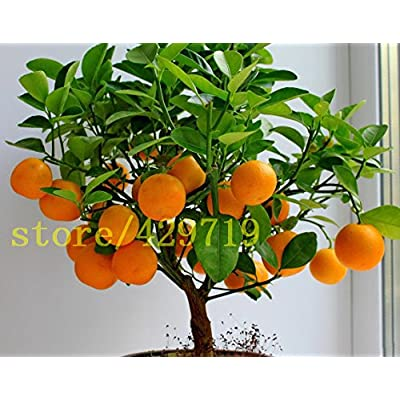 ! LOSS PROMOTION SALE! 20 pcs bonsai orange seeds NO-GMO mini bonsai tree Balcony Patio Potted Fruit Trees Kumquat Seeds Tangerine Citrus : Garden & Outdoor