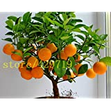 20 pcs bonsai orange seeds NO-GMO mini bonsai tree Balcony Patio Potted Fruit Trees Kumquat Seeds Tangerine Citrus