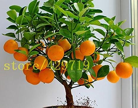20 Pcs Bonsai Orange Seeds No Gmo Mini Bonsai Tree Balcony Patio Potted Fruit Trees Kumquat Seeds Tangerine Citrus Amazon Ca Patio Lawn Garden