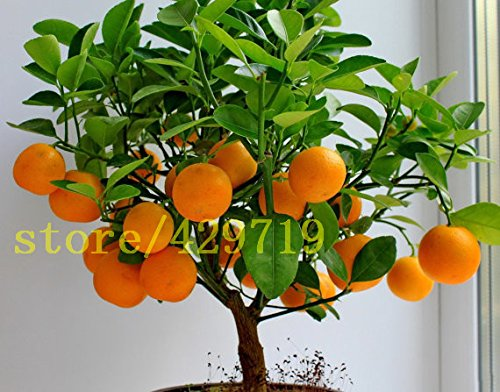 ! LOSS PROMOTION SALE! 20 pcs bonsai orange seeds NO-GMO mini bonsai tree Balcony Patio Potted Fruit Trees Kumquat Seeds Tangerine Citrus SVI