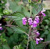 20 Seeds of Horehound Black / Ballota nigra