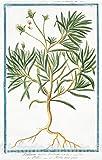 Historic Pictoric 1772 Print | Psyllium majus erectum = Psillio = Herbe aux puces. [Flea seed, Ispaghula, Spogel] | Vintage Wall Art | 30in x 44in