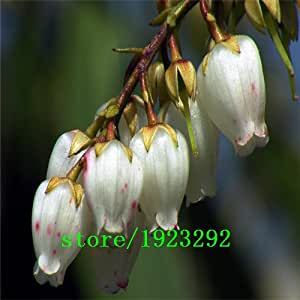 big sale fuchsia ,Bonsai flowers lantern flower fuchsia seeds - 100 pcs