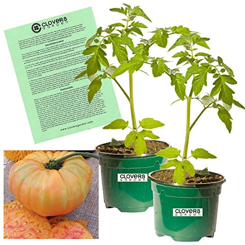 - Clovers Garden Heirloom Pineapple Tomato Plant- Two (2) Live Plants - Not Seeds - in 3.5 Inch Pots
