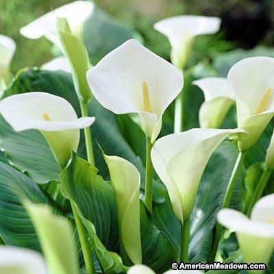 12 seeds zantedeschia aethiopica calla lily house plant white flowers mightylinksfo