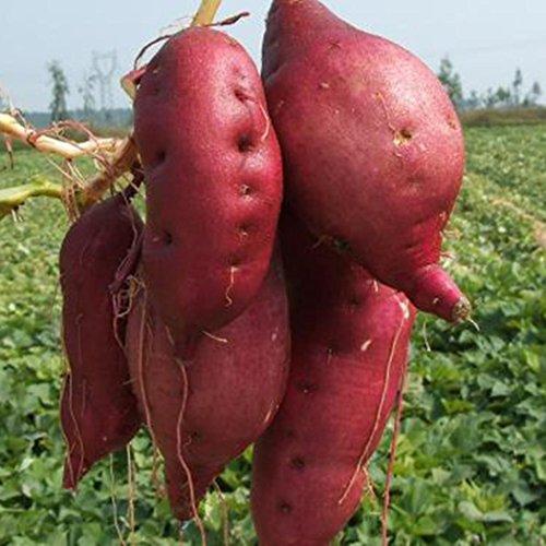 (Lioder 20pcs/50pcs Sweet Potato Seeds Garden Delicious Fresh Fruits Vegetables Seeds Vegetables)