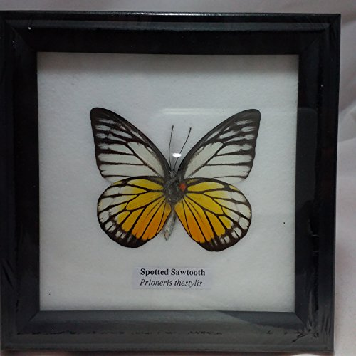 PICTURE FRAMES HOME DECOR FRAMED REAL BEAUTIFUL SPOTTED SAWTOOTH BUTTERFLY DISPLAY INSECT TAXIDERMY 5