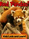 Red Pandas! Learn About Red Pandas and Enjoy Colorful Pictures - Look and Learn! (50+ Photos of Red Pandas)
