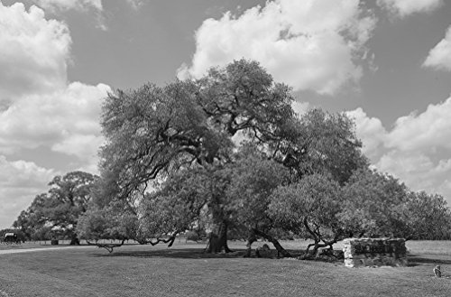 8 x 12 Black White Photo The Sam Houston Oak in Gonzales, Texas, Where, in 1836, Sam Houston Several Citizen-Soldiers Temporarily fleeing The Superior Mexican Forces afte 2014 Highsmith 35a by Vintography