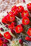 Close up view of Claret Cup Cactus (Echinocereus) flowers at sunset Colorado United States of America Poster Print (24 x 38)