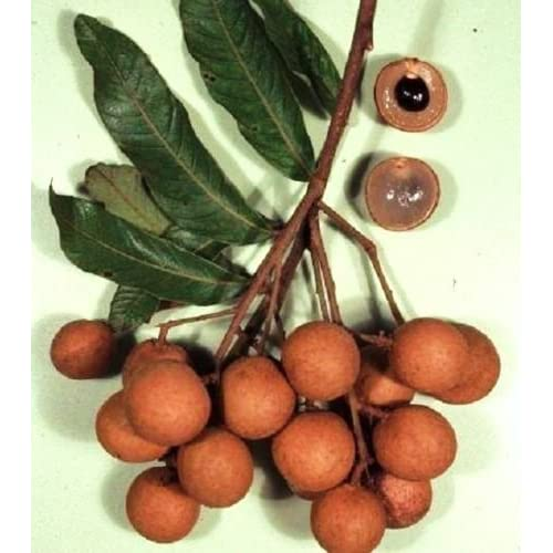 Cheap DIMOCARPUS LONGAN dragon eye sweet tropical exotic fruit seed edible 10 SEEDS