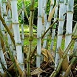 Box of 10 Borinda Macclureana, Live Tibetan Clumping Bamboo, Great Hedge or Specimen.