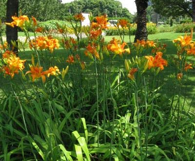 Classy Groundcovers, Hemerocallis 'Kwanso' H. fulva Flore pleno (25 Bare Root Plants)