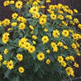 Outsidepride Heliopsis Summer Sun - 1000 Seeds