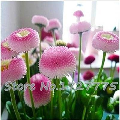 Loss Promotion! 100pcs. strawberry ice cream little daisy seeds Bonsai plants Seeds for home & garden : Garden & Outdoor
