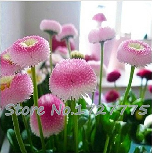 Loss Promotion! 100pcs. strawberry ice cream little daisy seeds Bonsai plants Seeds for home & garden