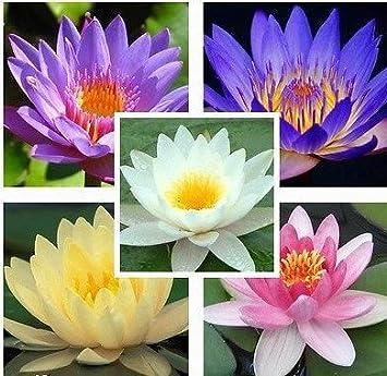 Creative Farmer Flower Seeds Lotus Flower Seeds Mixed Colour 15