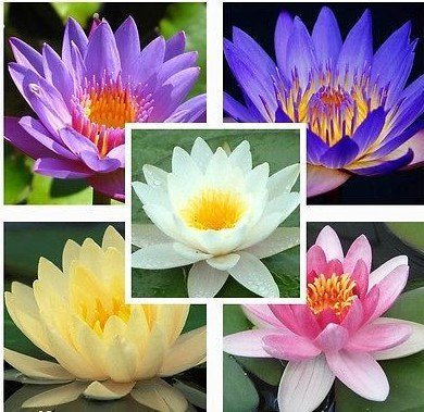 9 Seeds Aquatic Water Lily (Mixed Colors Lotus Plant)~by Seeds and Farms